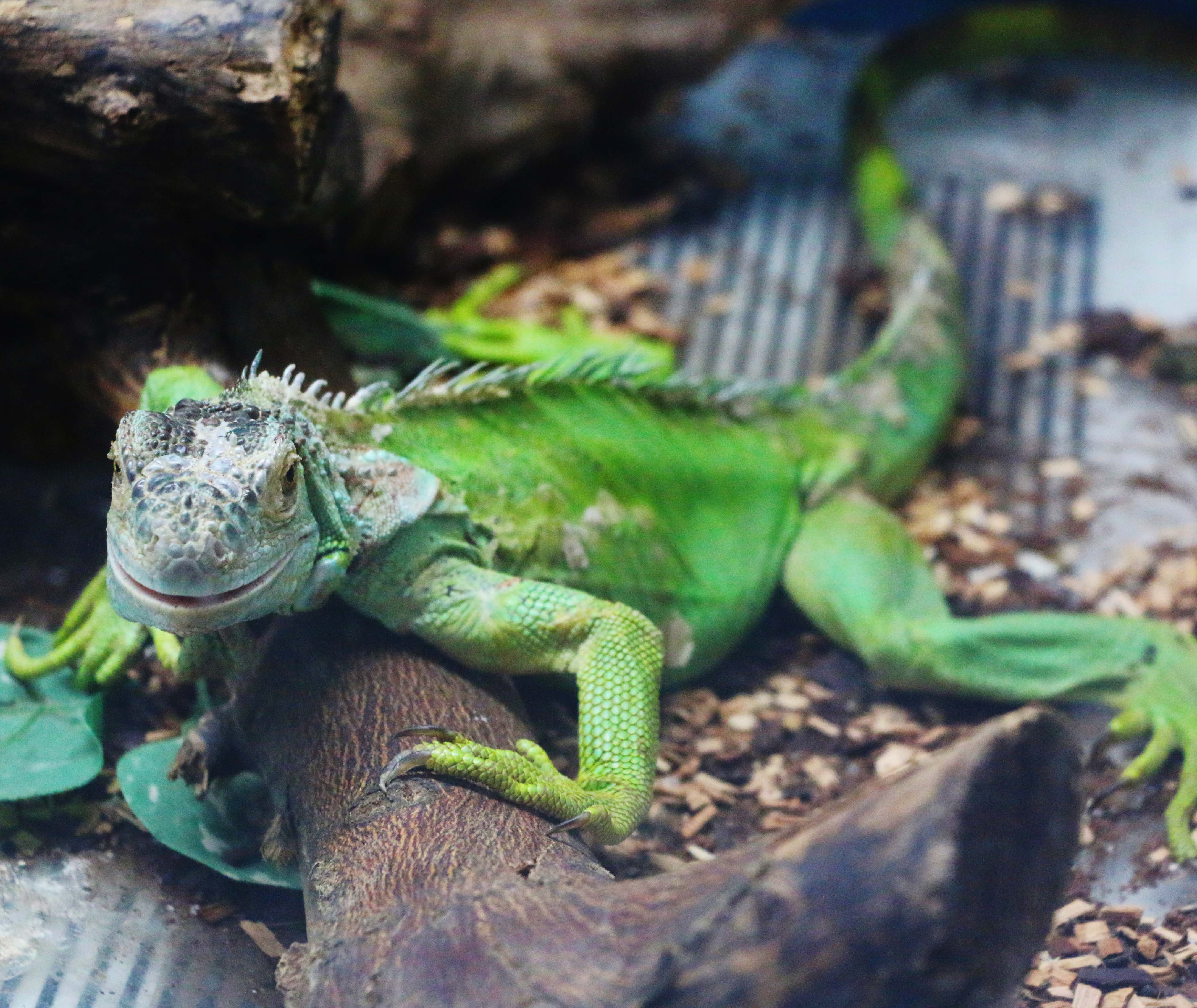 Iguana entradilla3